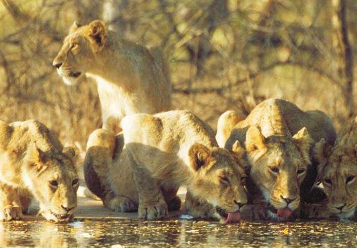 8. Asiatic Lion