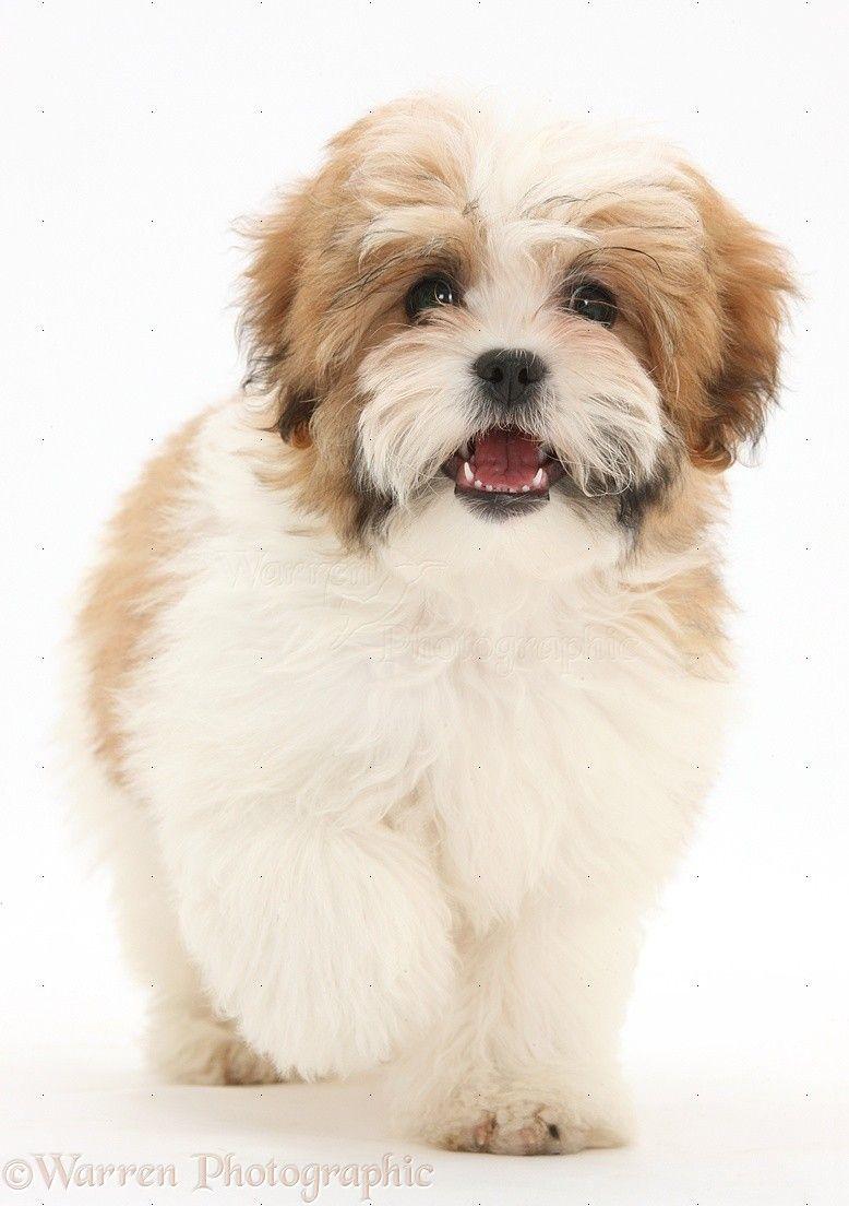 Choose Best Pup Toys For Your Lovely Maltese Shih Tzu Dog Breeds