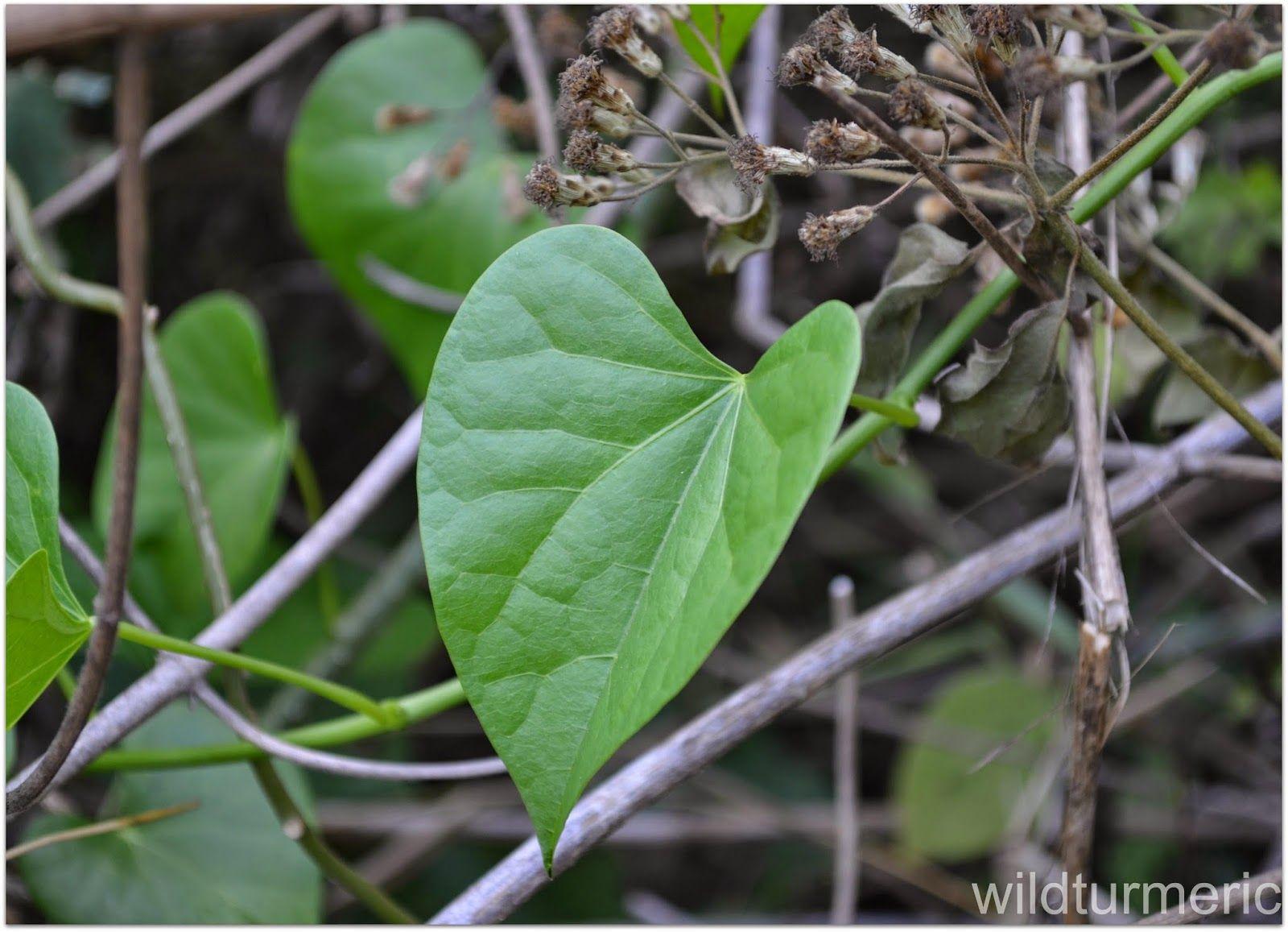 5 Top Benefits, Uses & Side Effects of Giloy (Guduchi | Herbarium