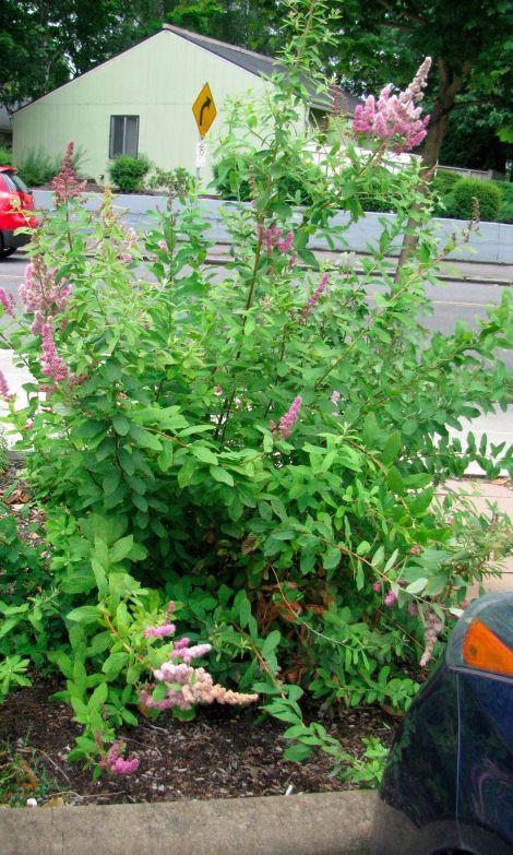 ecc03d96c0998ad98a82dcf2606e88d3 - Gardening With Oregon Native Plants West Of The Cascades