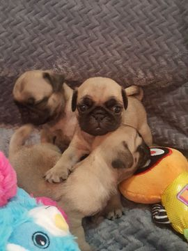 Pug Puppy For Sale In Miami Fl Adn 43275 On Puppyfinder Com
