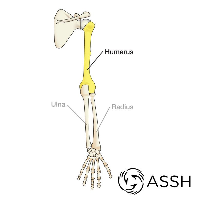 Anatomy 101: Arm Bones | Ręka