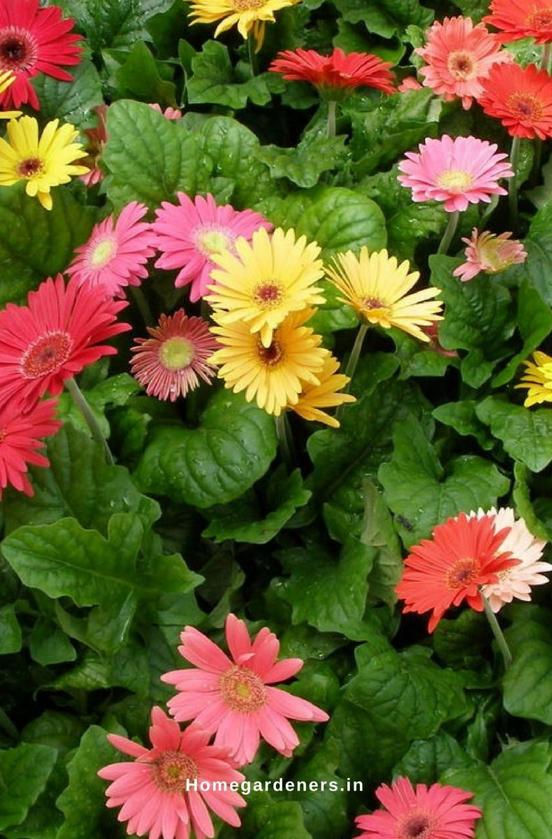 Gerbera daisy guide the only gerbera daisy resources you will ever gerbera daisies are easy to grow them at both indoors and outdoors when you provide sufficient resources to the flowering plants it helps to bloom flowers izmirmasajfo