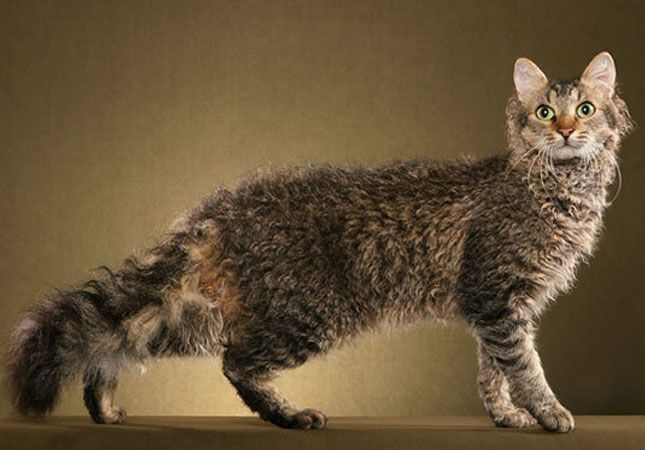The Most Expensive Cats In The World They Cost A Fortune Cat Breeds Laperm Rare Cat Breeds