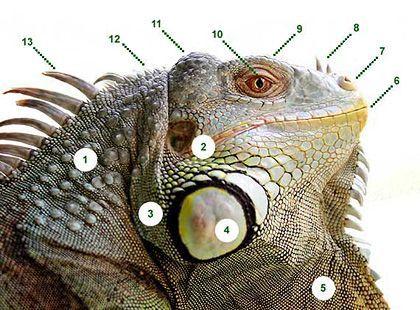 Green Iguana Anatomy
