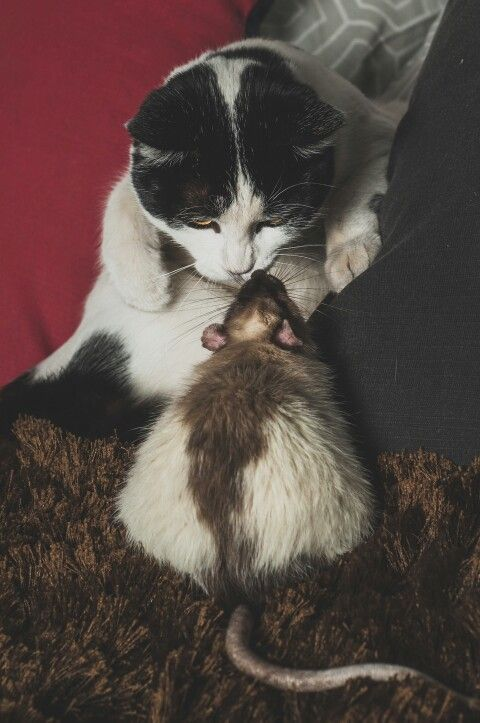 Rat meets cat