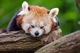 Panda Rojo, Duerme, Resto, Lindo