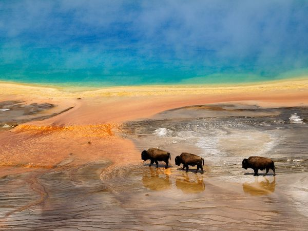 A few of Yellowstone's buffalo wade in the water of Grand Prismatic Springs. Algae and other microbes paint rings of green and yellow around the hot spring.