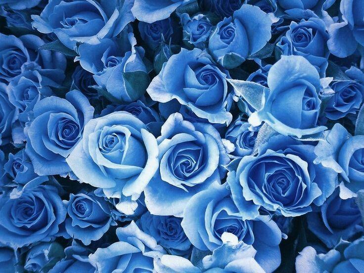 blue flowers roses blue roses blue wallpaper