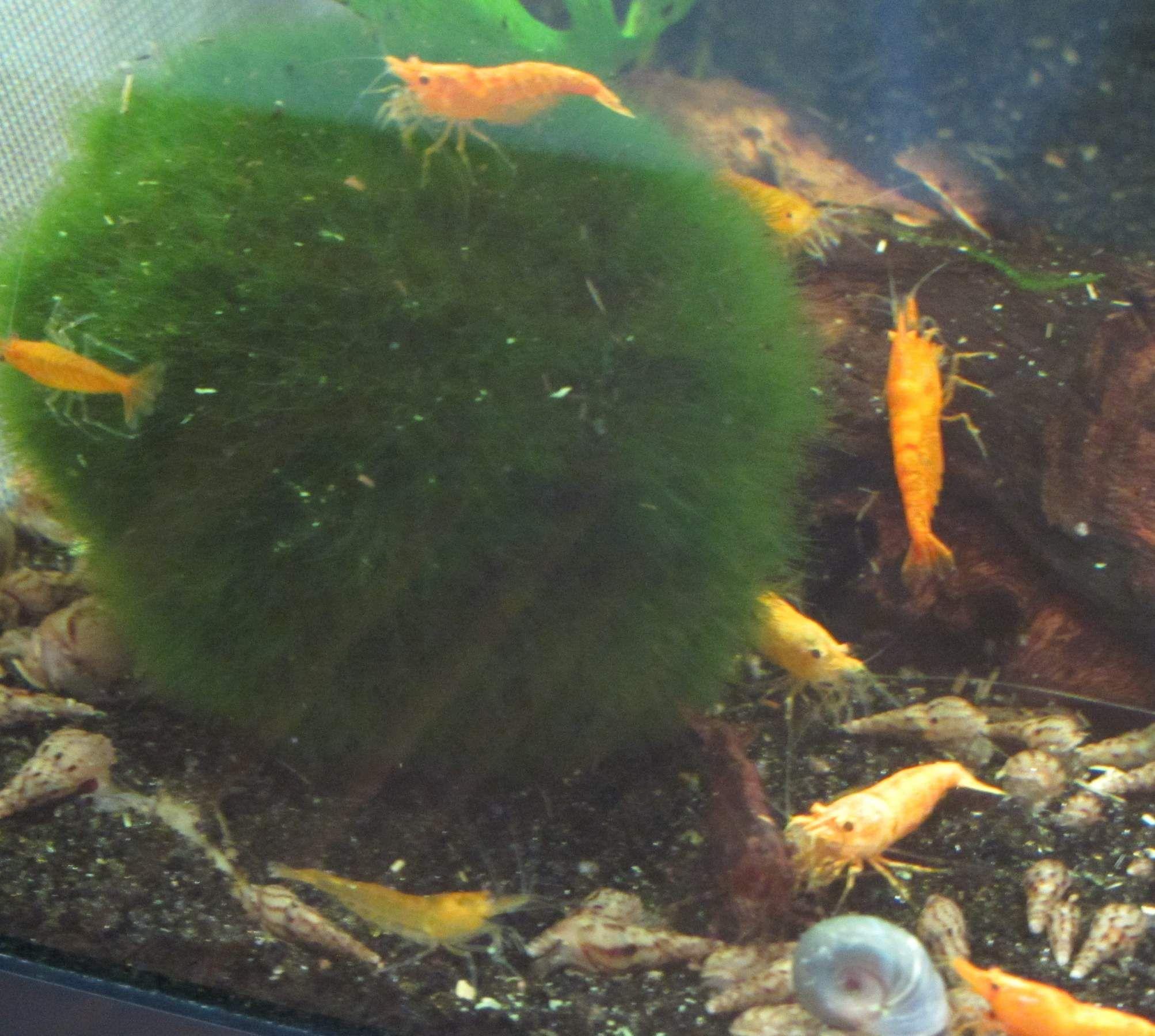 Vegetarian freshwater aquarium fish - Freshwater Snails Freshwater Fish Tankfish