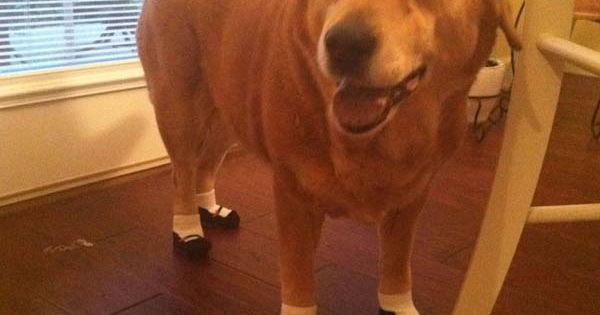 Super Funny Dog Gives Laughs with Printed Socks http://www.likazing.com/dog-shoes/