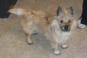 Adopt Max On Terrier Dogs Adoption Animal Rescue