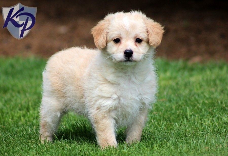 pomeranian lab mix polly poodle mix puppies for sale in pa keystone 7402