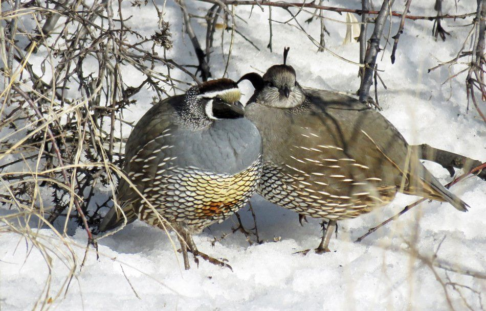 What a lovely couple of bob white quail