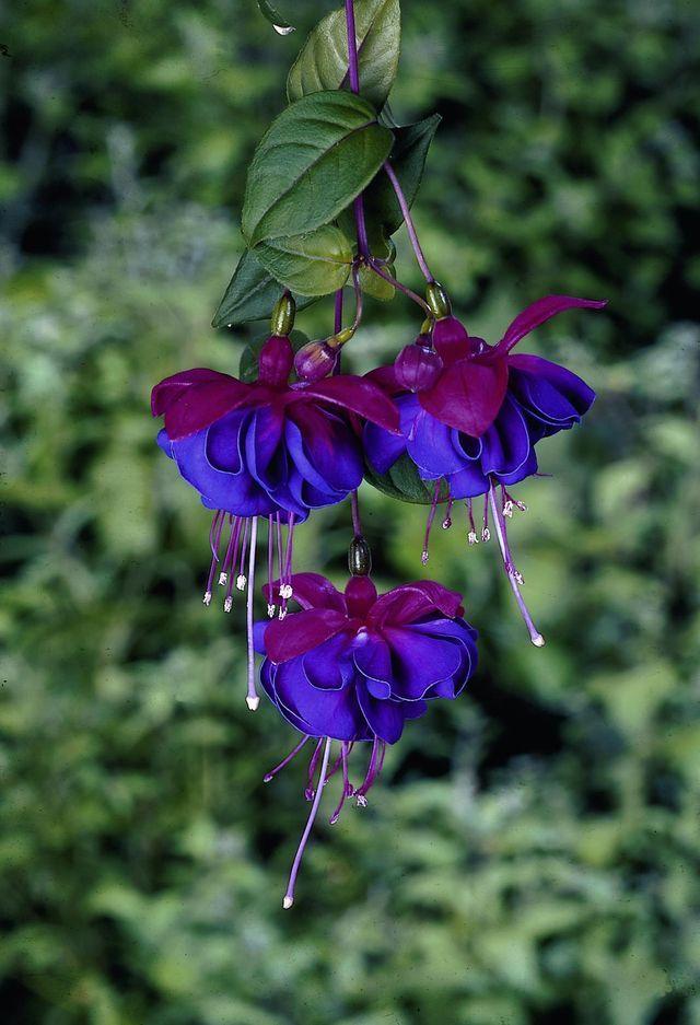 645987de0fadbcaecf9487d61bd4eb5f Jpg 640 937 Piksel Mavi Cicekler Egzotik Cicekler Orkideler