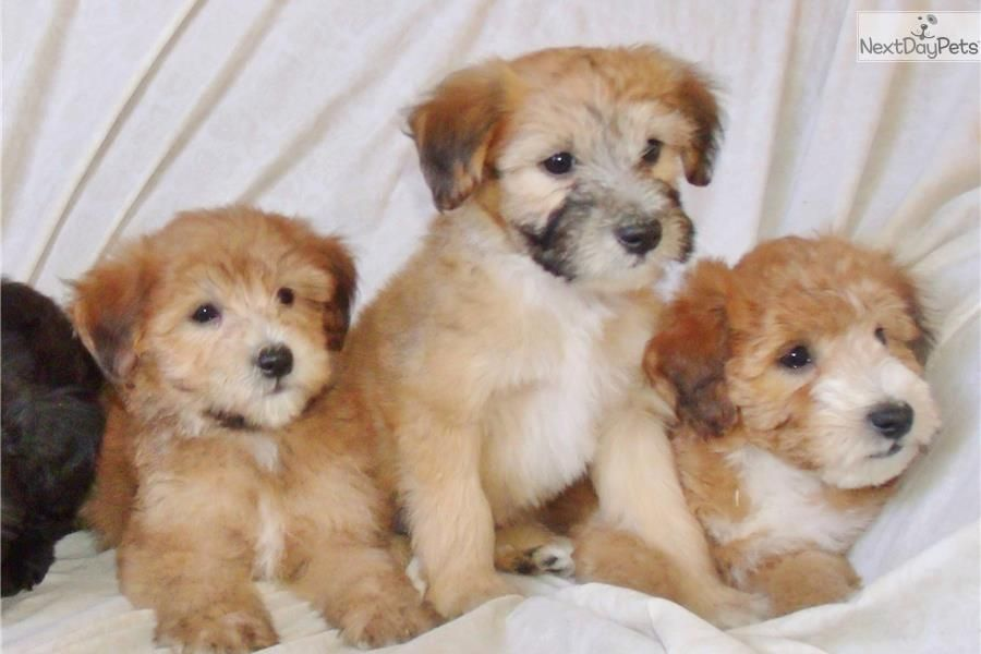 Whoodle Puppy For Sale Near Los Angeles California 9305ad57