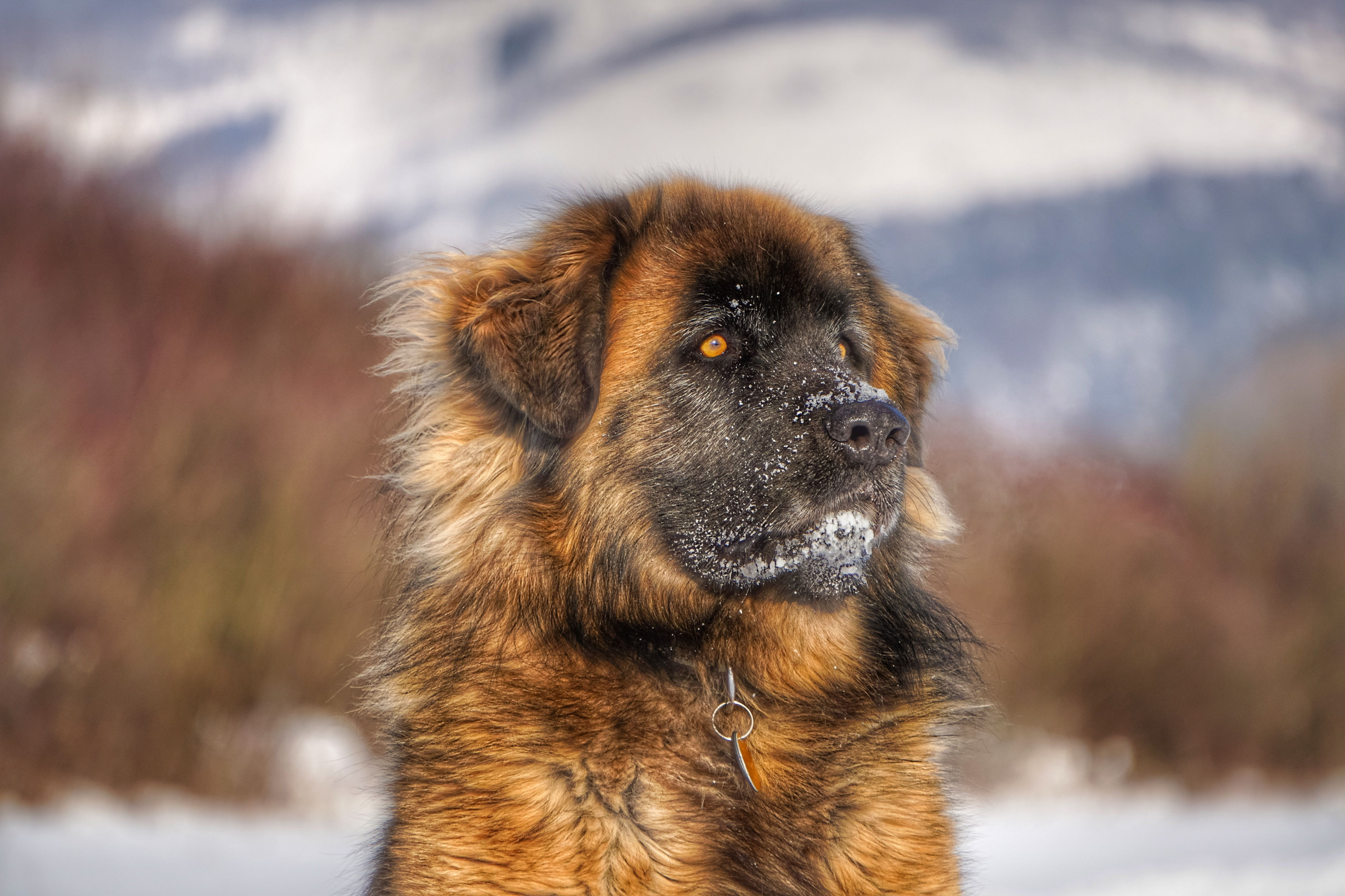 Free Images winter, puppy, portrait, fauna, vertebrate