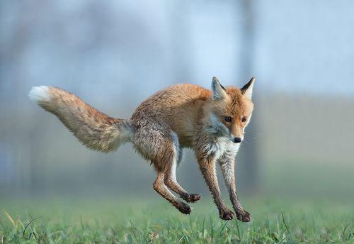 Red Fox By Mirek Zitek Zorro Rojo Zorro Animales