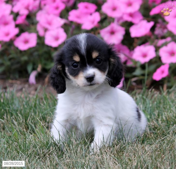 Cavashon puppy for sale in pennsylvania chihuahua