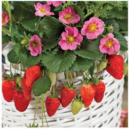 Strawberry plant with pink flowers garden design ideas gasana patio strawberry plant garden plants online pink flowered strawberries mightylinksfo