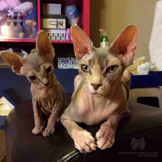 Sphynx Cat And Kitten Hairless Cats Hairless Cat Sphynx Cat Baby Cats