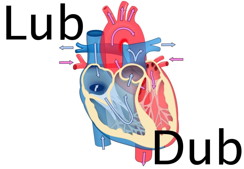 Heart Sounds Diagram Liquid Oxygen Phase Lub Dub Youtube Khanacademymymedicine Is Awesome
