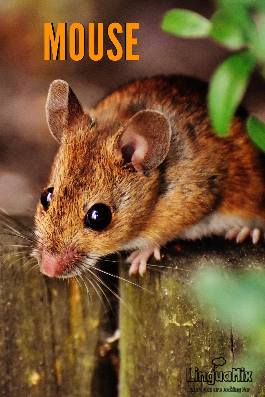 Pin On Mammals In English Mamiferos En Ingles