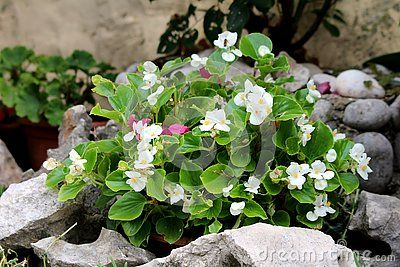 Begonia Plant With Light Green Leaves And Bright White Flowers With