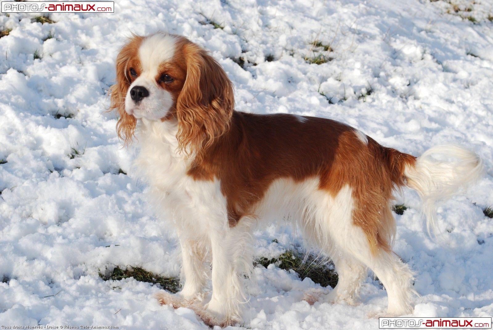 Cavalier king charles spaniel cavalier king charles pinterest chien chien cavalier et - Chiot cavalier king charles gratuit ...