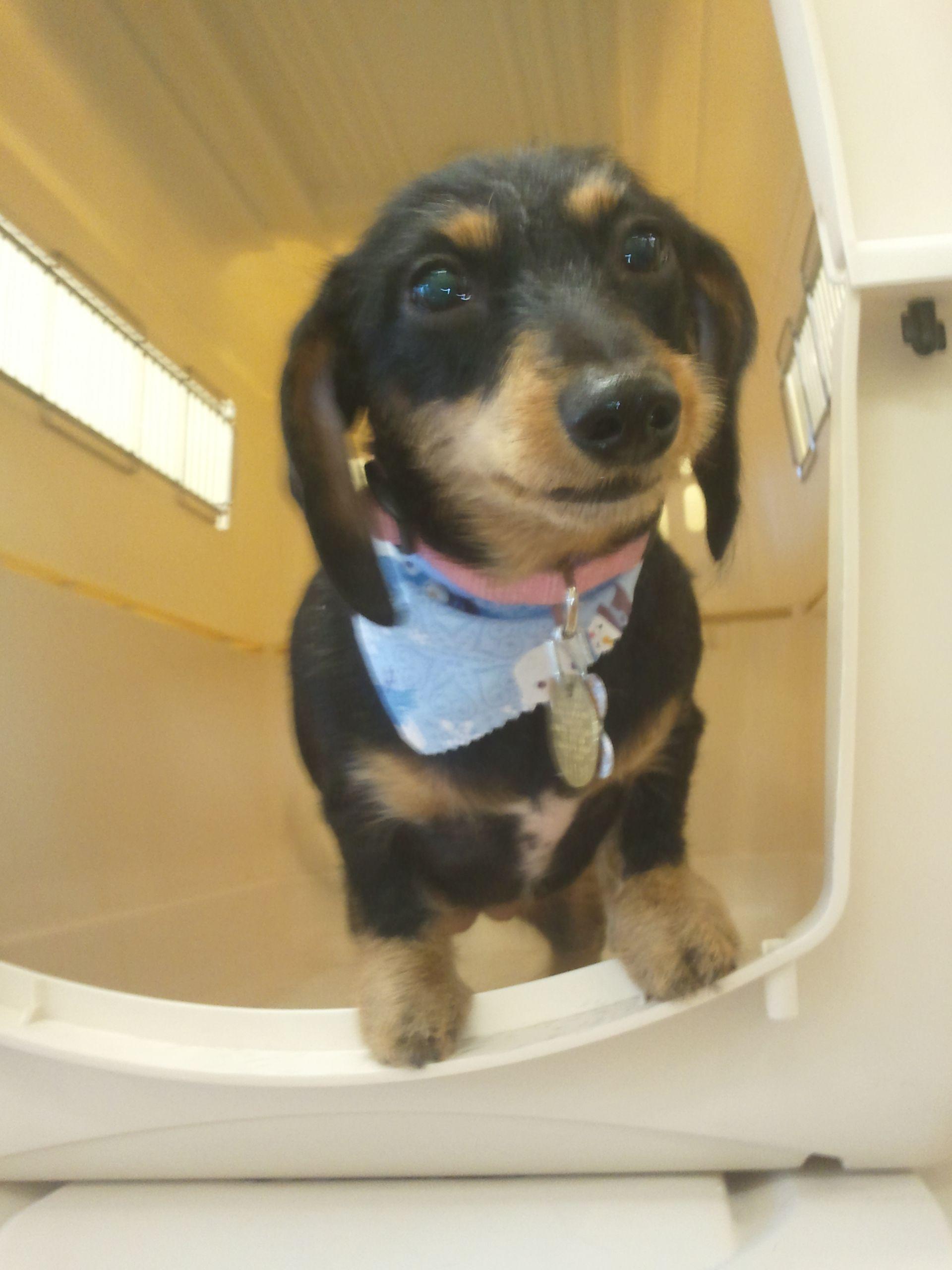 Wirehair Daschund Owner Request It Short Pet Grooming Daschund