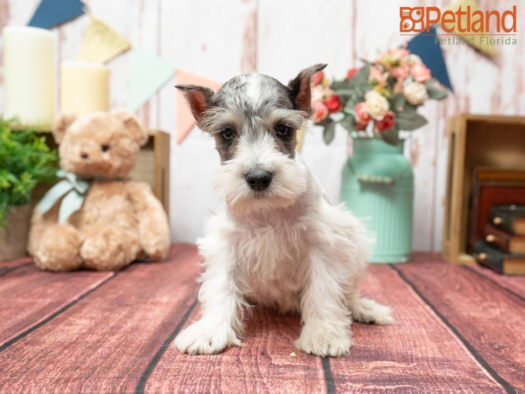 Puppies For Sale In 2020 With Images Puppy Friends Mini