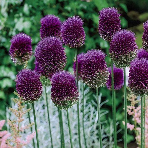 Drumstick Allium Allium Flowers Bonsai Plants
