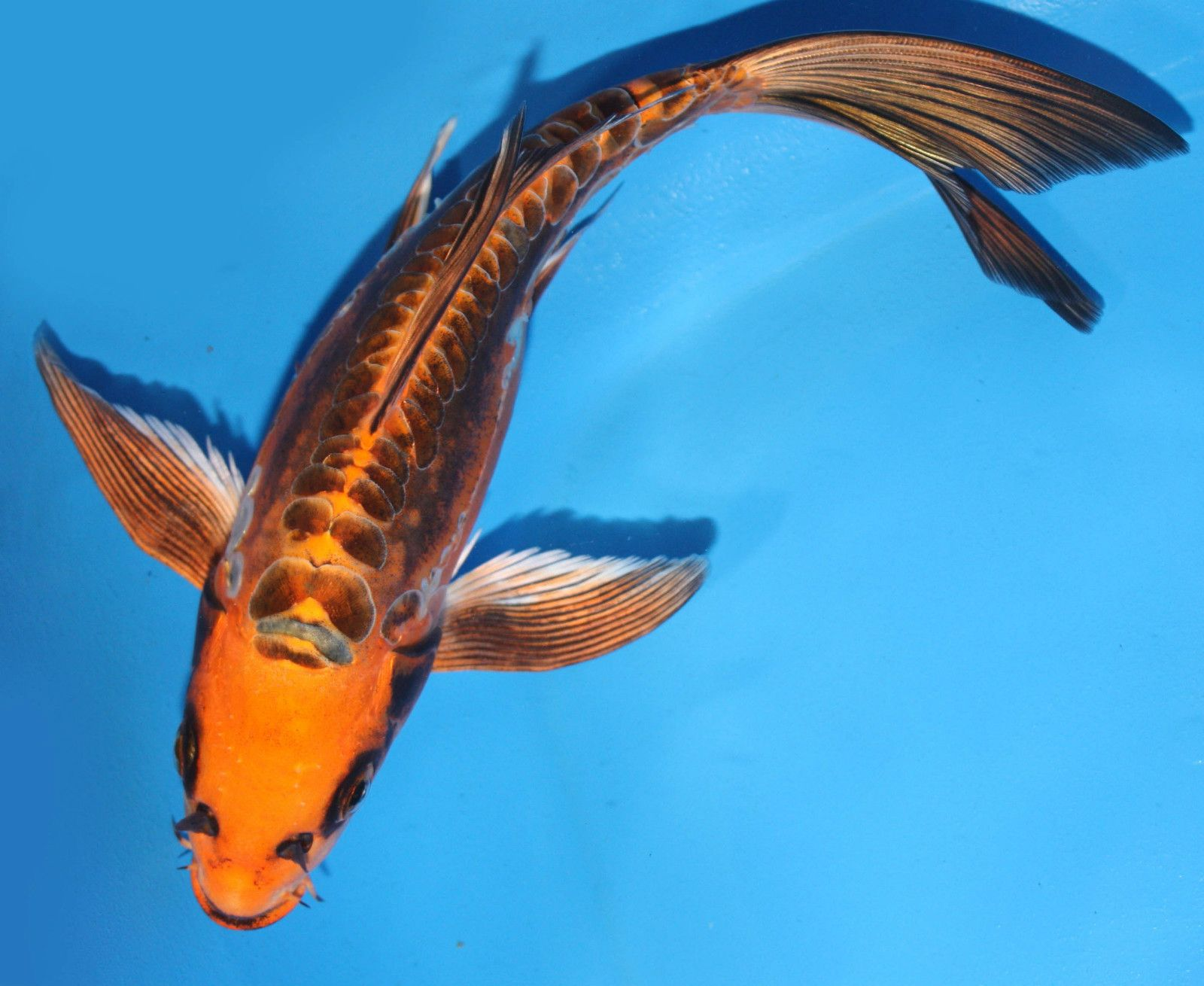 Doitsu kin matsuba ghost butterfly 9 10 live koi pond for Freshwater koi fish