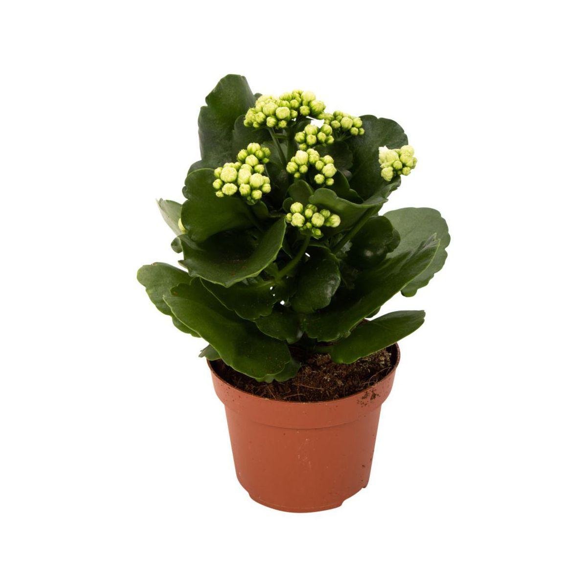 Kalanchoe 30 Cm Kwiaty Doniczkowe W Atrakcyjnej Cenie W Sklepach Leroy Merlin Plants