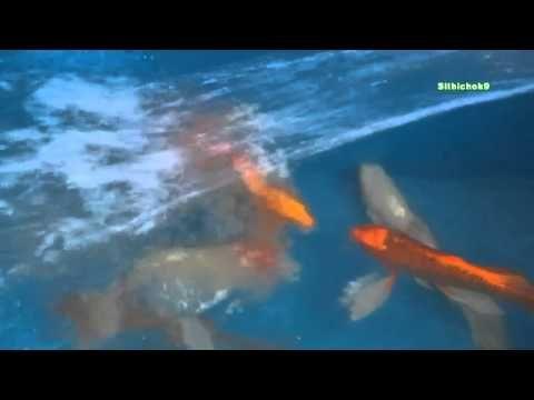 ปลาคาร ฟจ กรพรรด Butterfly Koi