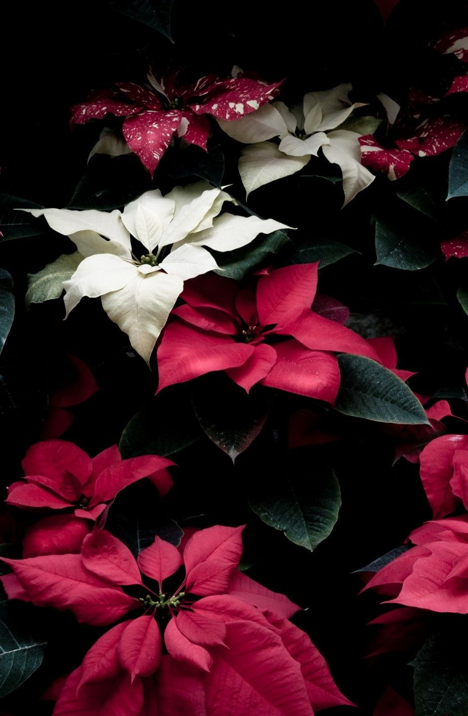 Beautiful Poinsettias Red and white flowers, Christmas