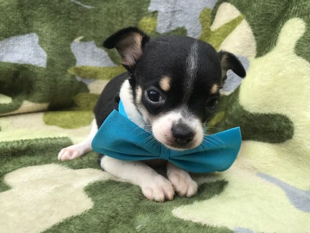 Chihuahua Puppy For Sale In Peach Bottom Pa Adn 36022 On Puppyfinder Com Gender Male Age 9 Weeks Old Chihuahua Puppies Puppies For Sale Chihuahua Puppies For Sale