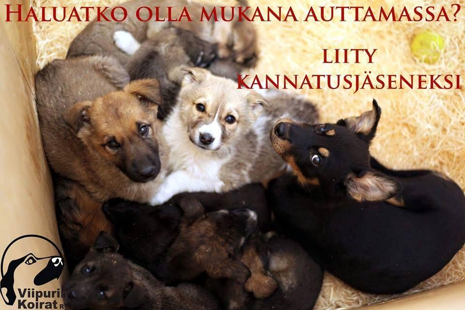 Kannatusjäsenyys on helppo ja vaivaton tapa auttaa Viipurin kodittomia koiria.  Jäsenille lähetetään 2 kertaa vuodessa sähköinen jäsenkirje, jossa kerrotaan tuoreita kuulumisia Viipurin tarhoilta ja yhdistyksen toiminnasta. Jäsenmaksu vuodelle 2016 on 20euroa.  Käy lukemassa lisää kannatusjäsenyydestä kotisivuiltamme: http://www.viipurinkoirat.fi/liity-kannatusjaseneksi