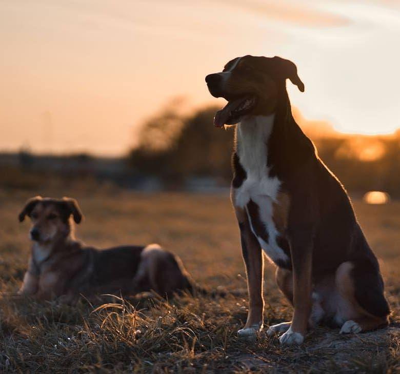 Bosse Appenzeller Sennenhund 6 Jahre Und Lui Mischling 2 5 Jahre Heute Beim Sonnenuntergangs Shooting In In 2020 Sennenhund Appenzeller Hund Appenzeller Sennenhund