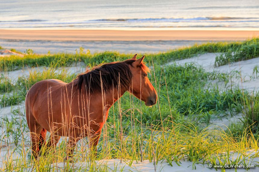 Wild Spanish mustangs have roamed free in the Northern Outer Banks for nearly 500 years. They are descended from horses from ancient shipwrecks. A small herd of nearly 100 wild mustangs still roam free in the 4WD section of the Northern Outer Banks. Photo by Dan Waters Photography.
