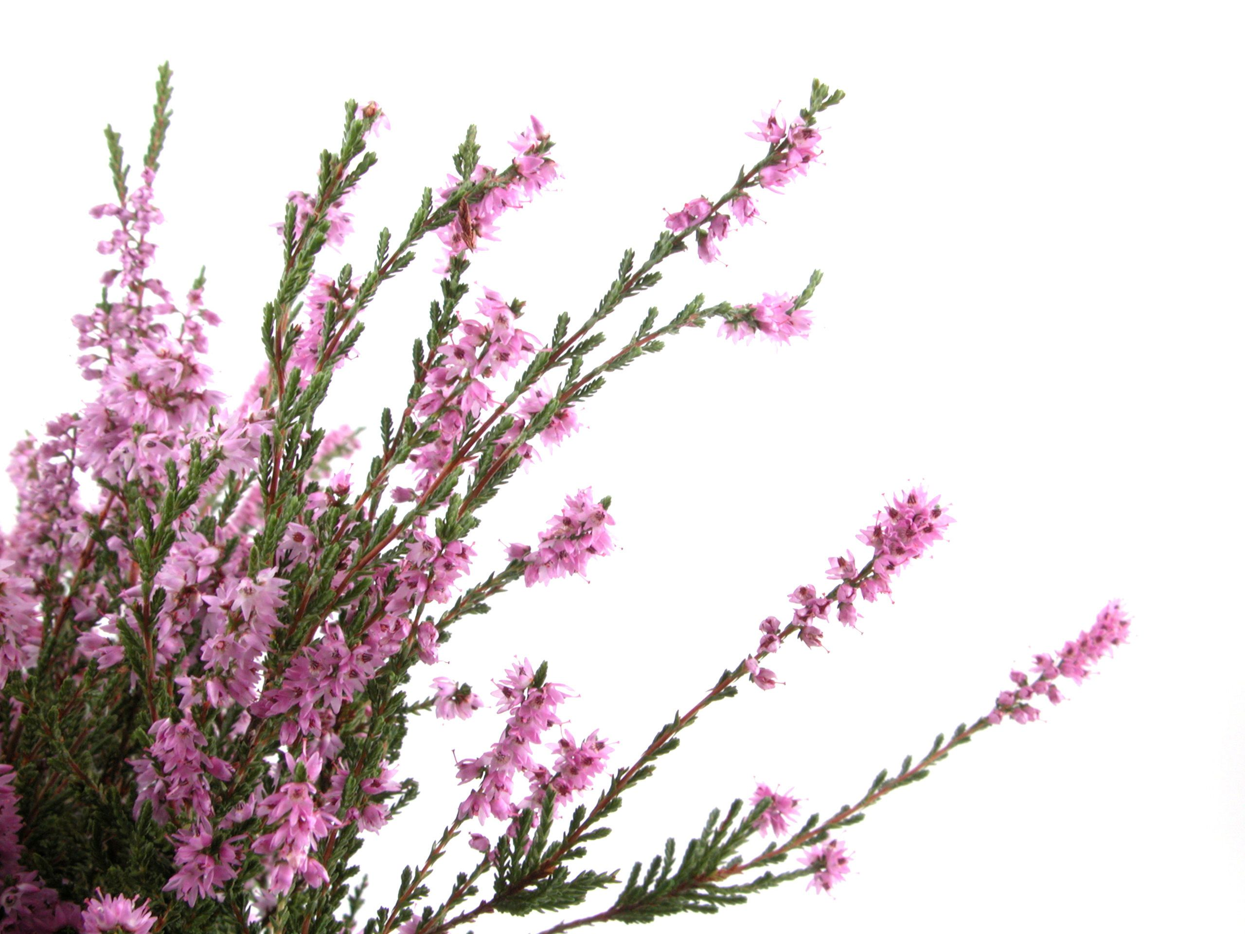 Heather Flower Wallpaper 2560x1920 30597 Heather Flower Beautiful Flowers Pictures Most Beautiful Flowers