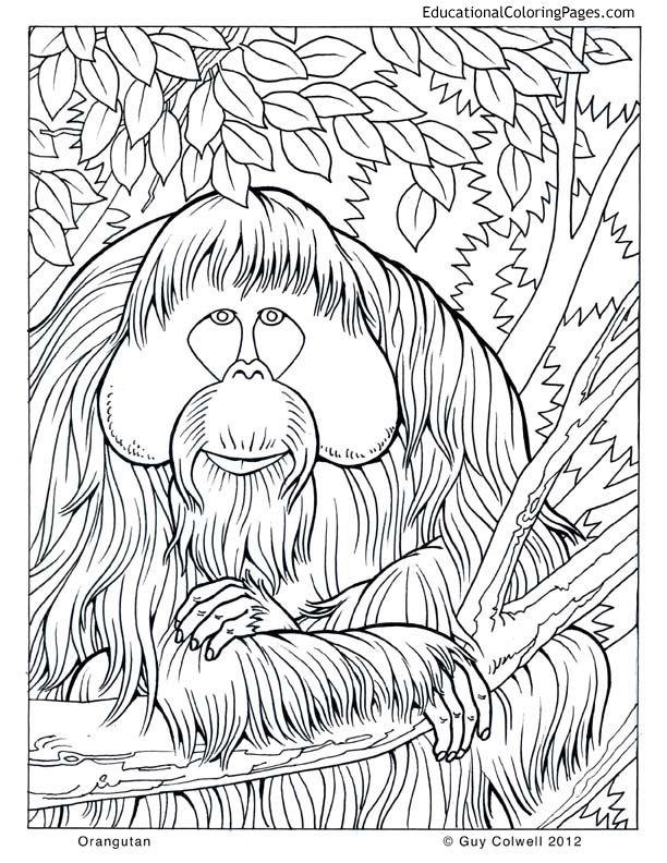 orangutan coloring image animals from life of pi