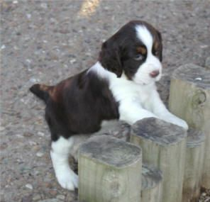 Baby English Springer Spaniel Google Search Springer Spaniel English Springer Spaniel English Springer