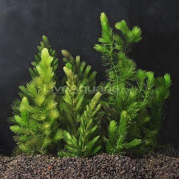 Pl Hornwort Dozen Bunch Plant Aquariums Fish Pond Plants Plants Goldfish Pond
