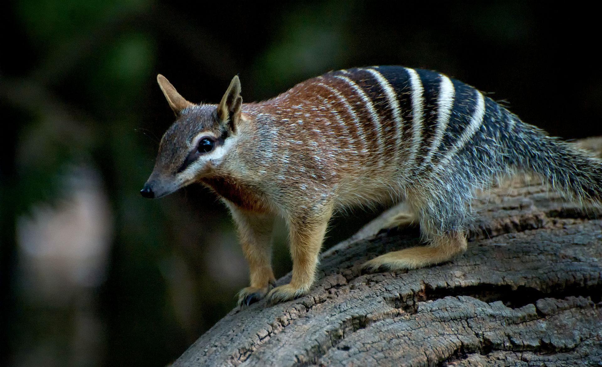 Meet The Numbat Endangered Species And Emblem Of Western Australia Animals Australian Animals Numbat