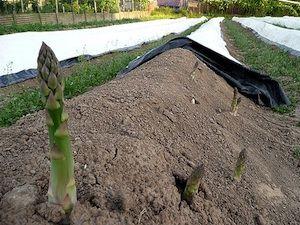 Culture de l'asperge (avec images) | Vivaces, Jardinage en serre, Asperge
