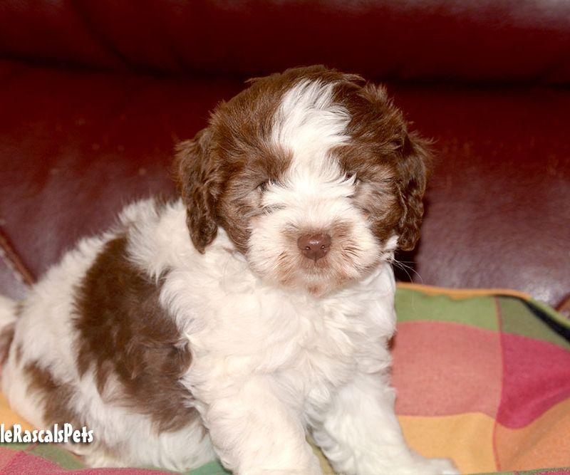Cockapoo Puppies Male 573340 Little Rascals Pets Ltd