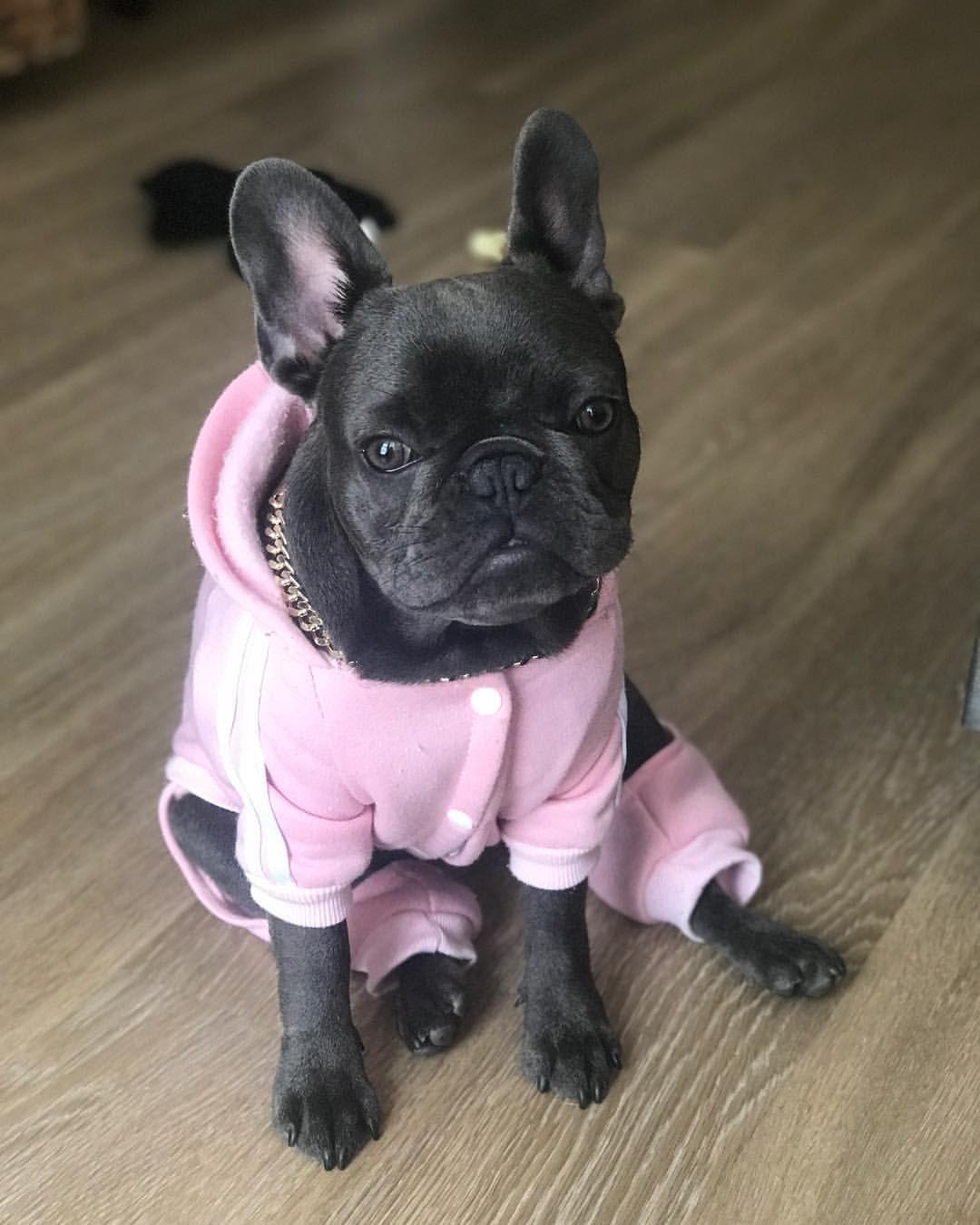 French bulldog puppy pretty in pink french bulldog