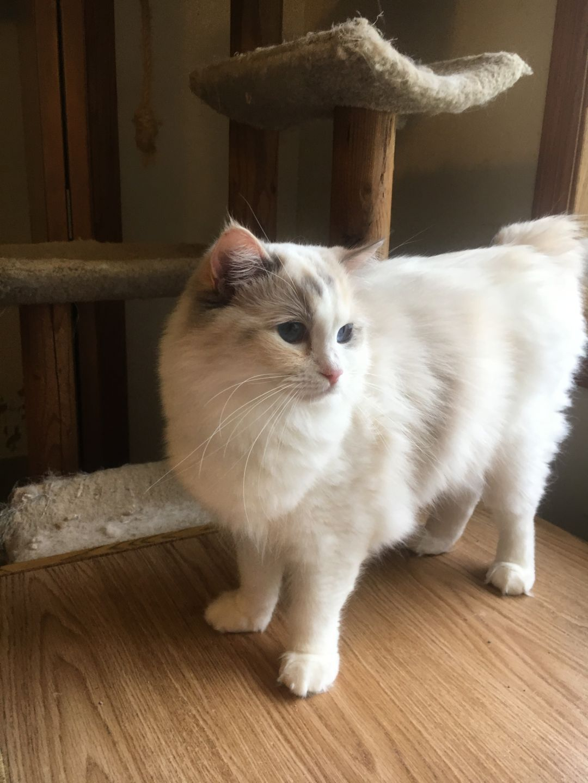 Adopt Glacia on Cats, Ragdoll cats for adoption, Animals
