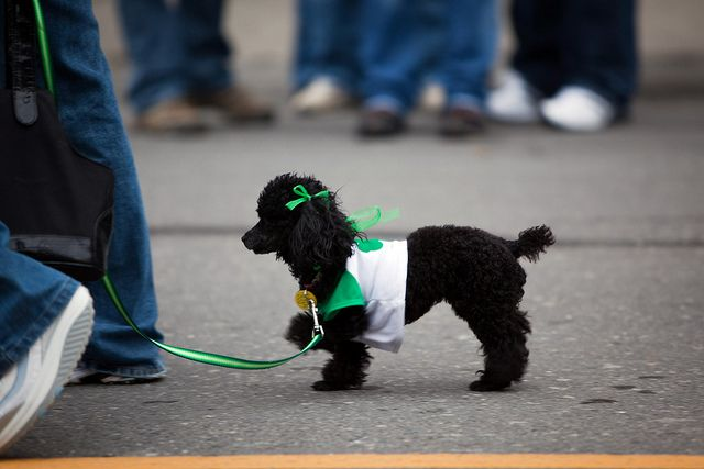 St Patrick S Day Albany Ny 10 Mar 28 Pup Poodle Day
